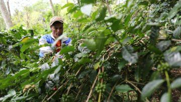 Mengulik Kopi Perdamaian dari Timur Indonesia